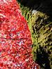 Green and Red (atria2718) Tags: japan nippon tree moss leaves japanesemaple green red 日本 木 紅葉 苔 momiji kyoto 京都 light shadow 光 影