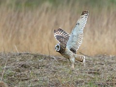 Shorteared Owl. (noelbarke) Tags: owl shorteared raptor prey dee estuary asio flammeus daylight moorland marshes perches ground mammals short tailed voles rats mice eyes yellow rspb