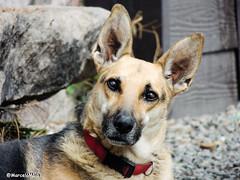 ET DOG :) (MFMarcelo) Tags: farellones regiónmetropolitana chile dog pet ears germanshepherd shepherd