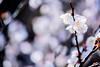 梅 #1ーPlum #1 (kurumaebi) Tags: yamaguchi 秋穂 nikon d750 nature 自然 landscape 梅 plum ウメ macro マクロ