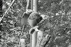 Abflug (auschmid) Tags: auschmid slta99 sal135f18z tierpark dählhölzli uhu bubobubo sw bw