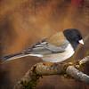 junco (1crzqbn) Tags: outside garden home nature bird junco light sun sliderssunday micasa texture