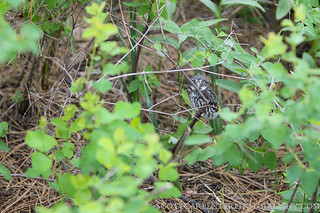 Fledged Northern Pygmy-Owl on Ground