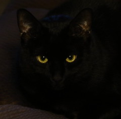 Those Eyes (emmaellathomas) Tags: blackcat cat eyes