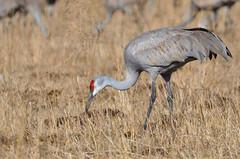 More sandhill cranes (jc-pics) Tags: nikon d7000 sigma 150500mm sandhill crane migration wildlife nature