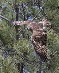 Red-tailed Hawk Spotting Prey (George_Adkins) Tags: second redtailedhawk hawk sandiegoriver sandiego raptor birdofprey