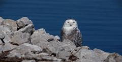 Snowy Owl (female) (Rick Lanting) Tags: owl snowyowl muskegon