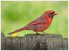Northern Cardinal (jiroseM43) Tags: cardinal molting nature em1markii m43 75300mm