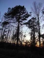 Trees In Our Backyard. (dccradio) Tags: lumberton nc northcarolina robesoncounty outdoors outside nature natural sony cybershot dscw230 thursday thursdayafternoon afternoon plant sunset evening lateafternoon sky tree trees branch branches treebranches treelimbs