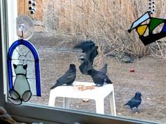 Morning breakfast table (ashabot) Tags: birds birdpark birdsantuary ravens nevada