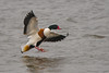 Shelduck touchdown (Tim Melling) Tags: tadorna shelduck sheld duck drake humber estuary yorkshire timmelling
