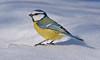 Blue Tit (Arnt Kvinnesland) Tags: blue yellow bluetit outdoor wildlife gardenbirds snow blåmeis småfugler hagefugler skogsfugler mars vinter vår nesflaten suldal rogaland norway