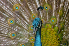 CLOSEUP  :  PAVONE.   ----    PEACOCK (Ezio Donati is ) Tags: natura nature animali animals uccelli birds foresta forest africa costadavorio arealeslagunesdabidjan