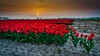 Tulips (peter manintveld) Tags: luminar tulp goereeoverflakkee nederland the netherlands tulips tulpen sun zon red rood sunrise