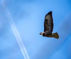 My first buzzard (dusk_rider) Tags: buzzard england english bird sky plane trails blue flight nikon d7200 nikkor 55300mm 7dwf negative space