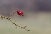(Vitatrix) Tags: hagebutte pflanze frucht trocken dornen