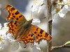 Comma Butterfly (ukstormchaser (A.k.a The Bug Whisperer)) Tags: comma uk butterfly butterflies fly flies animal animals wildlife milton keynes buckinghamshire march blossom flower flowers feeding macro sunlight closeup