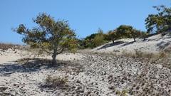 (mahler9) Tags: jaym october 2016 sanddune dune sand capecod tree provincelands