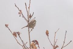 White Throated Sparrow (SSnapDragon) Tags: bird birding birder birds creature animal wildlife sparrow sparrows sigma canon animals fluvanna virginia