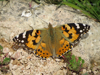 Painted lady (Vanessa cardui).