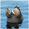 Blue-Winged Teal (Ed Sivon) Tags: america canon nature lasvegas wildlife wild western water southwest desert duck clarkcounty clark vegas bird henderson nevada preserve
