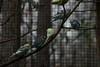 DSC_7922 (Copy) (pandjt) Tags: roadtrip unitedstates usa northcarolina scotlandnecknc sylvanheightsbirdpark scotlandneck birdpark bird birds budgerigar budgie