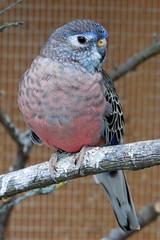Neopsephotus bourkii (Steenjep) Tags: bird fugl neopsephotusbourkii cage pet petbird parrot