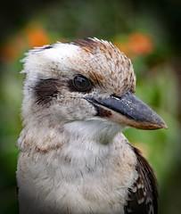 Kookaburra (Uhlenhorst) Tags: 2017 australia australien animals tiere birds vögel travel reisen
