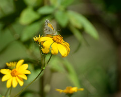Dainty sulphur (justkim1106) Tags: butterfly daintysulphur yellow wildflower texaswildflower bokeh naturebokeh nikonnature insect wingedinsect lepidoptera