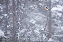 Bullfinch (Daniel Trim) Tags: pyrrhula bullfinch bull finch bird birds birding nature animals sweden scandinavia european photo conny lundstrom lundström kalvträsk skellefteå skellftea winter snow snowy snowing