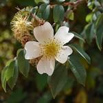 Ethiopian Rosa Abyssinica thumbnail