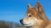 Another sunny spring afternoon... (Per Jensen) Tags: 2018 krummi portrait icelandic sheepdog red blue sky pet dog