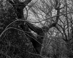 Branch in front of tree (Hyons Wood) (Jonathan Carr) Tags: ancient woodland rural northeast landscape black white monochrome bw 4x5 5x4 largeformat trees branches