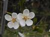 Cherry-plum - Prunus cerasifera (Les Coe) Tags: blossom cherryplum cherryplumprunuscerasifera marapr plantae prunus prunuscerasifera rosaceae rosefamily trees hedges anston southyorkshire woodsetts lindrick