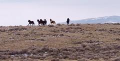 Showing off for the humans (prairiegirrl) Tags: wildhorses mustangs stewartcreek wyoming