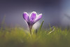Shadow play (der_peste (on/off)) Tags: crocus flower dof bokeh spring blur meadow lawn bokehlicious depthoffield samyang1352 sonya7 sonyalpha7