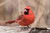 Friendly Cardinal (rdroniuk) Tags: birds smallbirds passerines cardinal northerncardinal cardinaliscardinalis passereaux cardinalrouge oiseaux