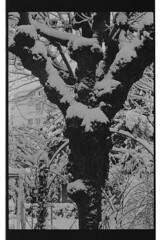 P60-2018-014 (lianefinch) Tags: argentique argentic monochrome blackandwhite blackwhite bw noirblanc noiretblanc nb nature analogique arbre tree analog jardin garden hiver winter snow neige frozen gelé