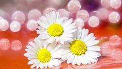 Trio Daisies - 4880 (YᗩSᗰIᘉᗴ HᗴᘉS +15 000 000 thx) Tags: circles trio daisy flower bokeh macro red hensyasmine yasminehens