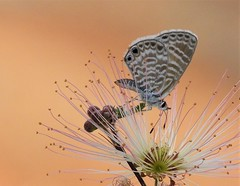 Marine Blue Butterfly on a Fairy Duster Flower! (Ruby 2417) Tags: blue butterfly insect wildlife nature flower duster fairy pink wild