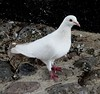 Pigeon In White other colour schemes are available (mrd1xjr) Tags: pigeon in white other colour schemes available