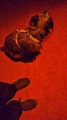 Red Carpet (morosus) Tags: morcsos red carpet vörös szőnyeg este éjjelidolgok night thingsatnight justthetwoofus budapestbudapest budapest buda cipőszelfi jagdterriermix terrierlife terrier fur szőr