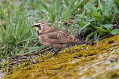 horned lark (ianbollen) Tags: lark horned american staines reservoir surrey england
