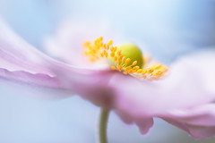 Anemone (Mandy Disher) Tags: japanese anemone summer flower pink