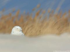 Alone on the dunes (v4vodka) Tags: bird birding birdwatching animal nature wildife owl snowyowl sowa sowka predator raptor buboscandiacus sowasniezna puchaczsniezny nycteascandiaca schneeeule eule