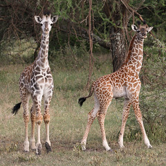 The Giraffe Kids (AnyMotion) Tags: giraffe giraffacamelopardalis young jung calf kalb 2018 anymotion serengetisouth kusini tanzania tansania africa afrika travel reisen animal animals tiere nature natur wildlife 7d2 canoneos7dmarkii square 1600x1600 ngc npc