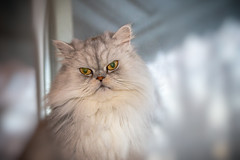 Happy Caturday! (A Great Capture) Tags: 28 grey white eyes creature animal sil ledge window fluffy longfur happybirthday caturday breed himalayan persian longhaired gato chat pet meow kitty cat 50mm agreatcapture agc wwwagreatcapturecom adjm ash2276 ashleylduffus ald mobilejay jamesmitchell toronto on ontario canada canadian photographer northamerica torontoexplore spring springtime printemps