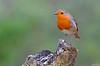 Pisco de peito ruivo - Robin - Erithacus rubecula (Yako36) Tags: portugal arrábida bird birdwatching ave nature natureza nikon200500 nikond7000