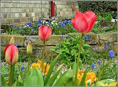 Springtime at Last ... (** Janets Photos **) Tags: uk springtime flowersplants flora