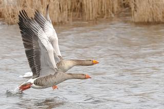 Goose national